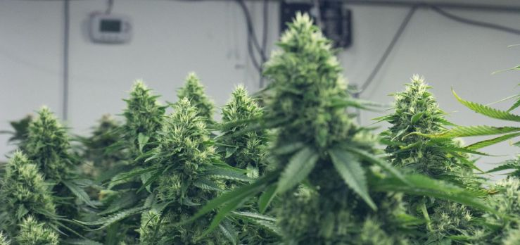 Guide to growing cannabis